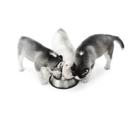 Funny puppies siberian husky dogs eating from plate. Three cute and funny puppies siberian husky dogs with white, gray and black fur, eating from big silver royalty free stock photography
