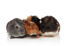Three cute furry guinea pigs lying. On white background, being coloured differently Stock Photo