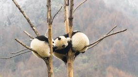 Three cute Giant pandas babies sleeping in the tree, Wulong, China stock photography