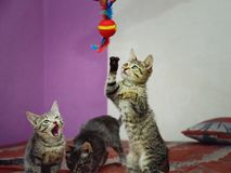 Three cute gray kittens are playing with a toy. royalty free stock photo