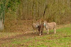 Three donkeys in ameadow - Equus africanus asinus. Three cute grey donkeys in a meadow with a forest with bare trees behind, in the Wallonian countryside - Equus Stock Photography