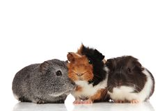 Three cute guinea pigs looking in different sides. Three cute guinea pigs coloured differently looking in different sides while lying on white background Royalty Free Stock Images