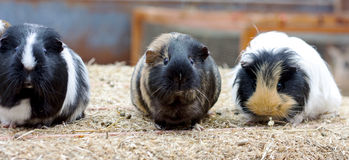 Three cute guinea pigs. Three guinea pigs in a row on top of a bale of straw royalty free stock photography