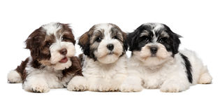 Three cute havanese puppies are lying next to each other Royalty Free Stock Photography