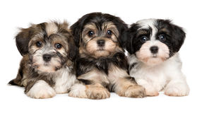 Three cute havanese puppies are lying next to each other. Three cute bichon havanese puppies are lying next to each other and looking at camera, isolated on royalty free stock photos