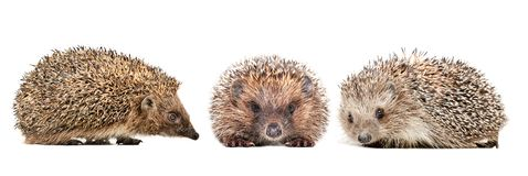 Three cute hedgehogs. Isolated on white background stock images
