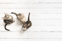 Three cute kittens looking up seen from a high angle view on a w. Hite wooden background with copy space Stock Images