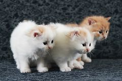 Three cute kittens in sofa. The three cute kittens looked to something curiously in blue sofa royalty free stock photo
