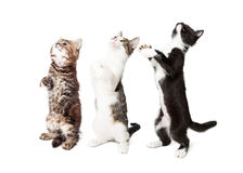 Three Cute Kittens Standing and Begging Stock Images