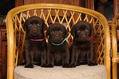 Three cute labrador puppies on the chair Royalty Free Stock Photo