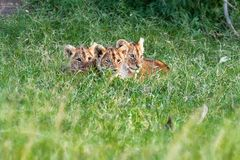 Three Cute Lion Cubs in Africa Grasslands. Three cute little baby lion cubs snuggling together in the tall green grass of Kenya, Africa royalty free stock image