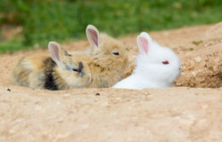 Three cute little bunnies Royalty Free Stock Images