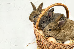 Three cute little easter bunnies sitting in easter busket with e. Ggs. Concrete white background Royalty Free Stock Images