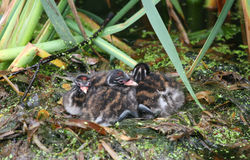 Three Cute Little Grebe Tachybaptus ruficollis chicks sitting on the nest waiting for the parents to come back to feed them. Stock Photography