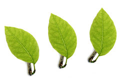 Three cute little green leaves. Stock Photos