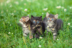 Three cute little kittens Stock Image