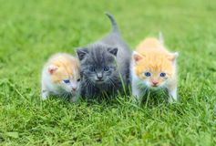 Three cute little kittens walking on a green grass. In the garden royalty free stock photography