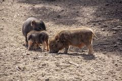 Three cute little pigs in the barnyard royalty free stock image