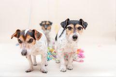 Three cute naughty party dog. Jack Russell dogs ready for carnival. Three cute cheeky party dog. Jack Russell dogs ready for carnival royalty free stock images