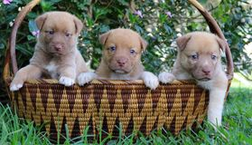 Three cute New Guinea Singing Dog puppies in basket. Three cute brown New Guinea Singing Dog mix puppies with white markings and blue eyes in a woven bamboo royalty free stock photos