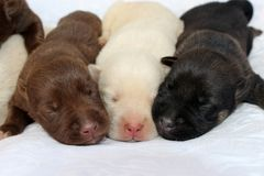 Three cute newborn puppies. Three cute one-week-old puppies sleep peacefully together on a white blanket. They exhibit all three of the Lab colors: chocolate royalty free stock image