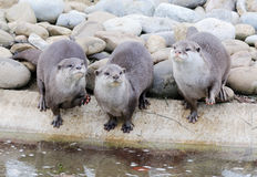 Three otters Stock Image