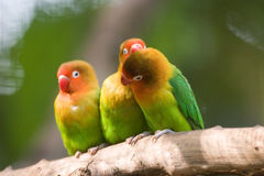 The Three Cute Lovebirds royalty free stock photography