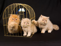 Three cute Persian kittens with gold bird cage. Pretty cute black copper eyed Persian kittens on black background fabric, with gold birdcage and two blue white stock images