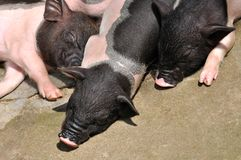 Three cute piggy in sleeping Stock Photos