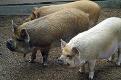 Three cute piglets Stock Images