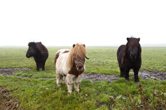 Three cute pony Royalty Free Stock Photography