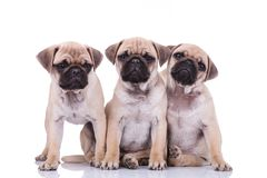 Three cute pug puppy brothers. Two of them sitting and leaning on each other and the other one standing and looking to side on white background Royalty Free Stock Photography