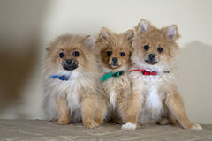 Three cute puppies Royalty Free Stock Image