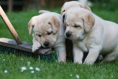 Three cute puppies. Three cute Labrador puppies sitting in the grass as they were in a conference stock photography