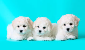 Three cute puppies. White breed bichon frize puppies. Royalty Free Stock Image