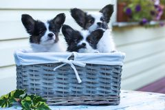Three cute puppies in a wicker basket Stock Photos