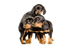 Three cute puppy breed Slovakian Hound Royalty Free Stock Photos