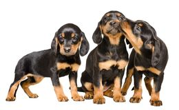 Three cute puppy breed Slovakian Hund playing together. Three cute puppy breed Slovakian Hund, playing together, isolated on white background Stock Photography