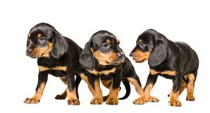 Three cute puppy Slovakian Hund. Standing isolated on a white background Royalty Free Stock Image