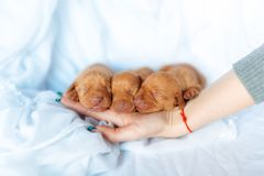 Cute red puppy Visla dog age week sleep at the hand at the blue background stock images