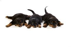 Three Cute Rottweiler Puppies. At white background Royalty Free Stock Photo