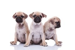 Three cute seated pug puppies with one looking to side. Three cute seated pug puppies with one of them looking to side, on white background Stock Image