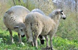 Three cute sheep Stock Image