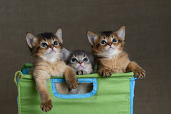 Three cute somali kittens on a grey backround. Three cute somali kittens in basket on a grey backround stock photography
