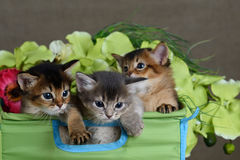 Three cute somali kittens isolated. In basket isolated on white background stock photography