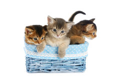 Three cute somali kittens isolated on white background. Three cute somali kittens in blue basket isolated on white background stock photo