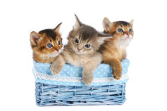 Three cute somali kittens isolated on white background. Three cute somali kittens in blue basket isolated on white background stock photography