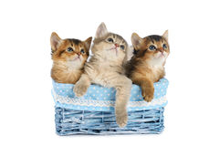 Three cute somali kittens isolated on white background. Three cute somali kittens in blue basket isolated on white background royalty free stock photos