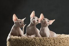 Three cute sphinx kitten. On the cat house Stock Photo