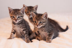 Three cute tabby kittens on soft off-white comforter. Cute little tabby kitten sitting on a soft, off-white comforter.  Kittens have green eyes and soft fur Stock Photo